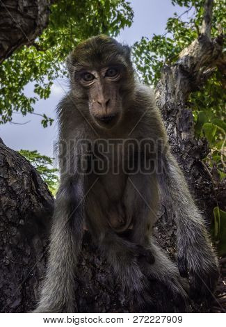 Cute Monkey Looks Into The Camera Crab-eating Macaque Macaca Fascicularis Also Known As Long-tailed