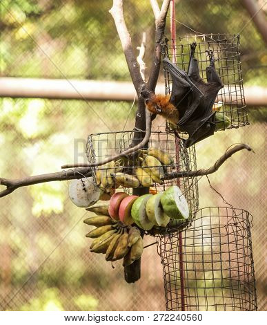 Lyle's Flying Fox (fruit Bat) Feeds On Fruit In Zoo. It Is Gregarious And Roosts In Tropical Forest,