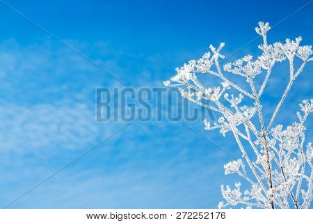 Abstract Flowers In Frost On Blue Sky Background. Branches Of Dry Plants Are Covered With Snow In Wi