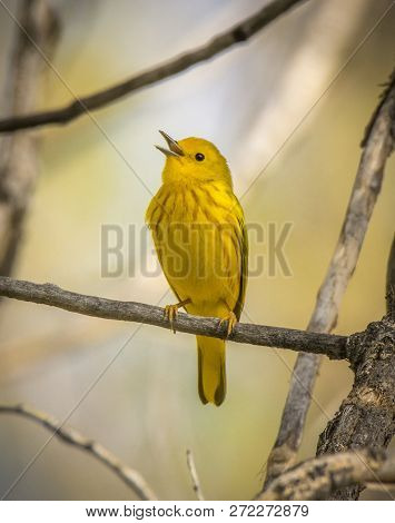 A Beautiful Male Yellow Warbler Sings From A Perch In A Southern Wisconsin Woodland During Spring Mi