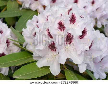 Rhododendron Hybrid Calsap, Rhododendron Hybrid, Close Up Of The Flower Head