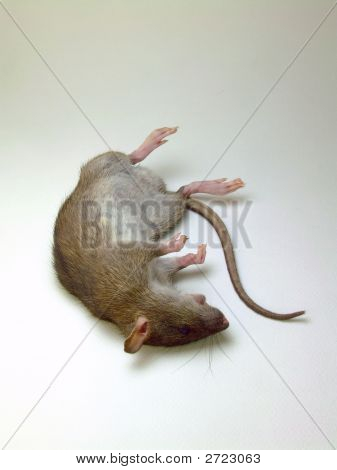 Deceased Rat