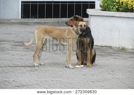 Turkey Yellow And Black Dogs Of Zonguldak Kandilli