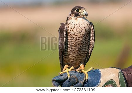 Closeup Portrait Of A Peregrine Falcon (falco Peregrinus) Posing On The Hand Of The Falconer.