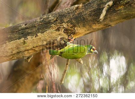 Cute Yelllow Green Bird, Coppersmith Barbet (or Megalaima Haemacephala) Prepare Platform For Nesting