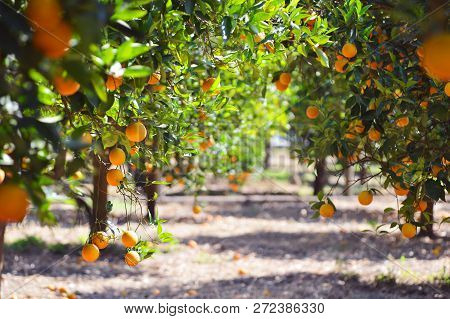 Orange Tree With Fruits, Beautiful Drove Of Orange. Ripe Organic Oranges Hanging From An Orange Tree