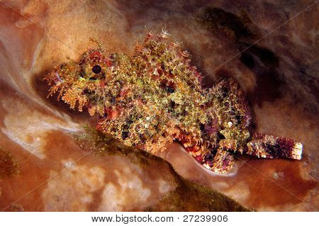 Colorful scorpionfish in Indonesia sits on the bottom staring into my camera. poster