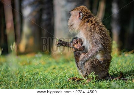 Monkey Eating-crab Macaque (long-tailed Macaque) Mother Is Feeding Its Young Attached To Its Breast