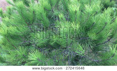 Pine Branches, Dense Vegetation, Conifer, Evergreen Tree
