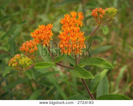 Orange Milkweed Or Butterfly Weed
