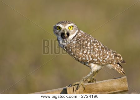Burrowing Owl Trying To Expell A Pellet