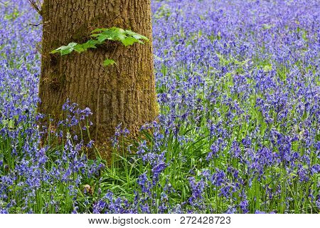 Close Up Of Tree Trunk In A Carpet Of Bluebells