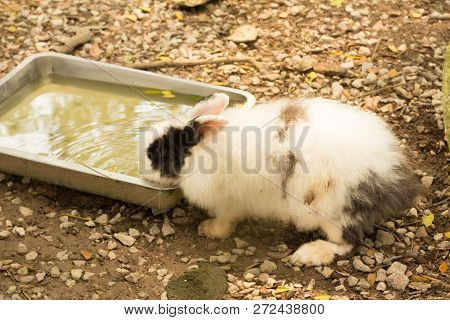 A Rabbit Drinking Water During Hot Sunny Day