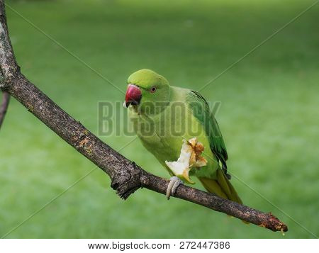 Green Parakeet Eating An Apple Perched On A Twig