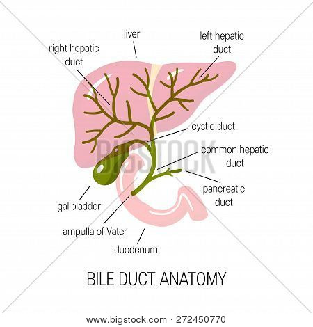 Anatomy Of A Bile Duct. Vector Illustration In Flat Style For Medical Articles, Infographics Or Educ