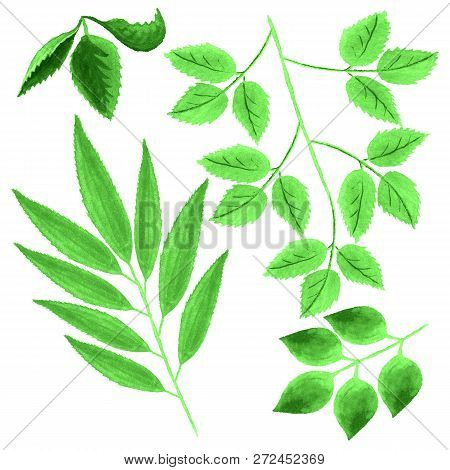 Set Of Watercolor Images Of Green Leaves On White Background. Elements For Seasonal Decoration.