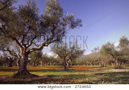 Olive Tree Field In Kalamata, Greece