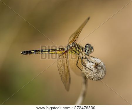 A Beautiful Female Or Juvenile Male Blue Dasher Dragonfly Perched On A Dried Stalk Near A Wisconsin