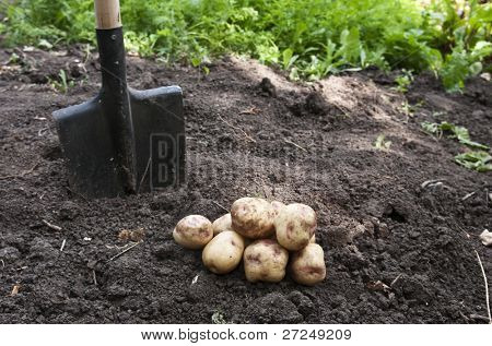 potatoes in the garden