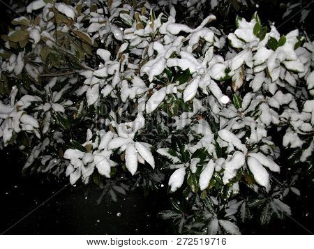 Snow Falling Against A Magnolia Branch At Night