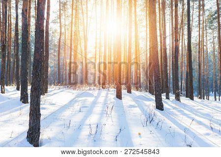 A Beautiful View Of The Winter Pine Forest Is Covered With White Fluffy Snow And The Suns Rays Are B