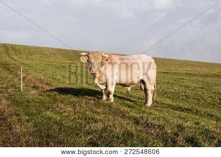 Charolais Cattle (bull) On Pasturage Near Huzova Village In Czech Republic