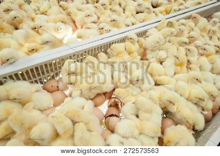 Baby chicks just coming out from broiler egg production, multipliers growth farm in Hatchery unit. poster