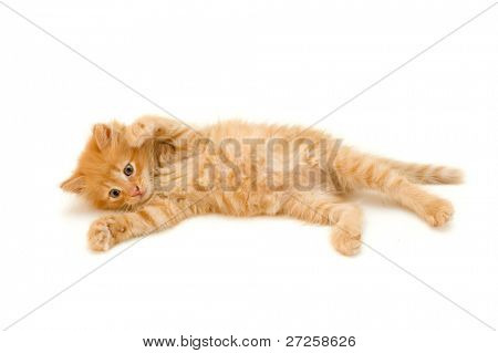 kitten red funny playful isolated on white background