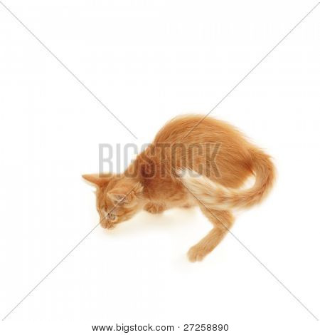 kitten red playful isolated on white background