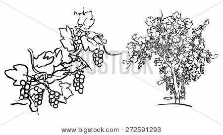 Vine Tree And Fruit Drawing, Hand-drawn Vector Food Illustration For Vine Label And Social Media Mar