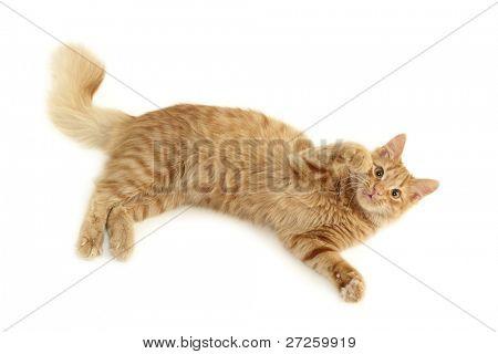 cat playful isolated on white background