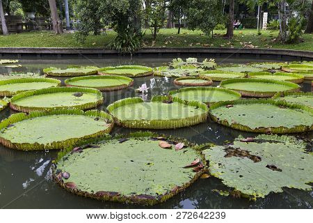 Victoria Amazonica: Flowering Plant, The Largest Of The Nymphaeaceae Family Of Water Lilies In Pond.