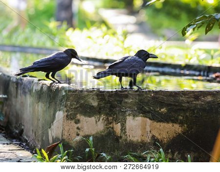 Jungle Crow (large-billed Crow, Thick-billed Crow), Widespread Asian Species Of Crow, Is Very Adapta