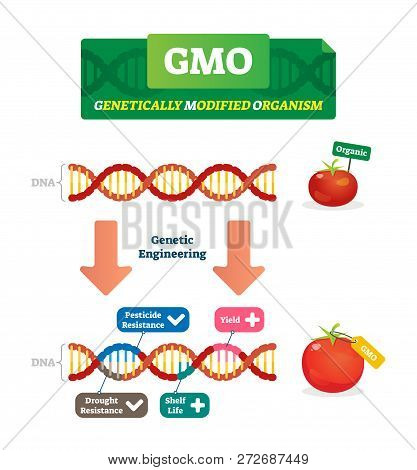 Gmo Vector Illustration. Organic And Modified Agricultural Plants Scheme. Compared Healthy Natural T