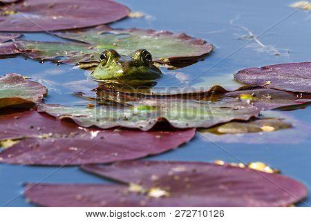 Edible Frog - Pelophylax Esculentus