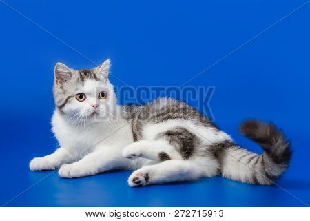 Scottish Straight Kitten Lying On Blue Background