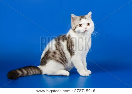 Portrait Of Scottish Straight Kitten Sitting On Blue Background