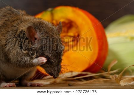 Close-up Rat  (rattus Norvegicus) Sits Near Orange Pumpkin Inside  Of  Pantry.