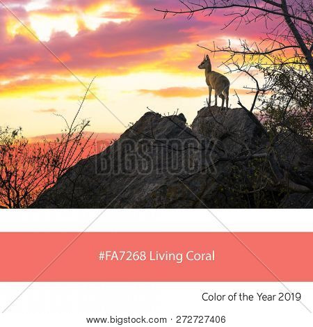 A steenbok at sunset as an example of the trend colour of the year 2019, Living Coral, with corresponding colour hex code.