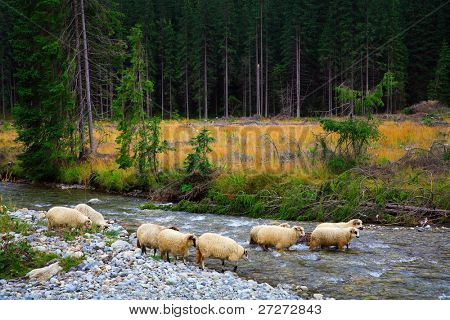 Sheep crossing a mountain river