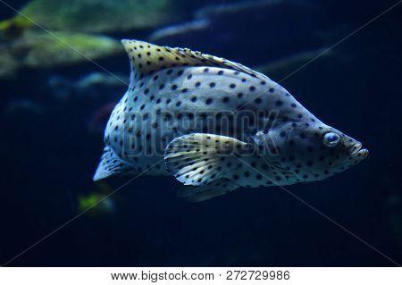 barramundi cod / grouper fish swimming marine life underwater ocean - fish humpback grouper (Cromileptes altivelis)