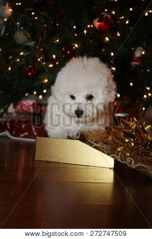Christmas Dog. A purebred Bichon Frise puppy smiles as she poses for her Christmas Photo under a Christmas Tree with Wrapped Gifts. Christmas Puppy. Small white dog. Dog in and with a Gold Box.