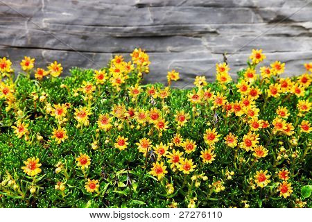 Mountain flowers in Berner Oberland, Switzerland