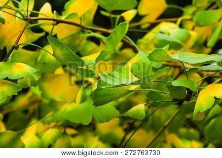 Ginkgo Biloba Tree Branch With Leafs Against Lush Green Background.