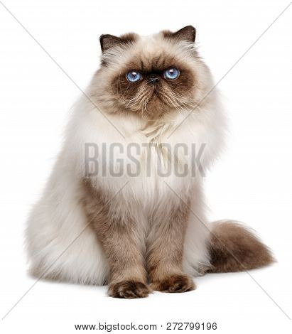 Beautiful 1 Year Old Seal Colourpoint Persian Cat - Isolated On White Background