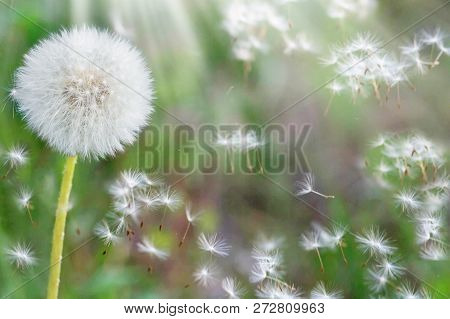 Dandelion Seeds In The Sunlight Blowing Away Across A Fresh Nature Green Morning Background