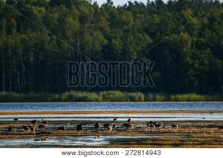 Floating Waterfowl Ducks, Wild Birds Swimming On The Lake, Wildlife Landscape. Ducgs Swimming On Lak