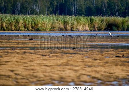 Floating Waterfowl, Young Ducks And Heron, Wild Birds Swimming On The Lake, Wildlife Landscape. Bird