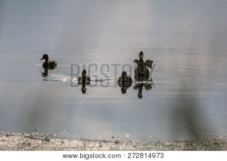 Floating Waterfowl Young Ducks, Wild Birds Swimming On The Lake, Wildlife Landscape. Ducks Swimming