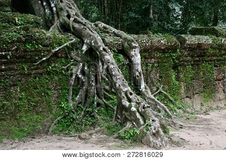 Beautiful Old Growth Tree Root Growing Down A Wall At Ruins In Cambodia